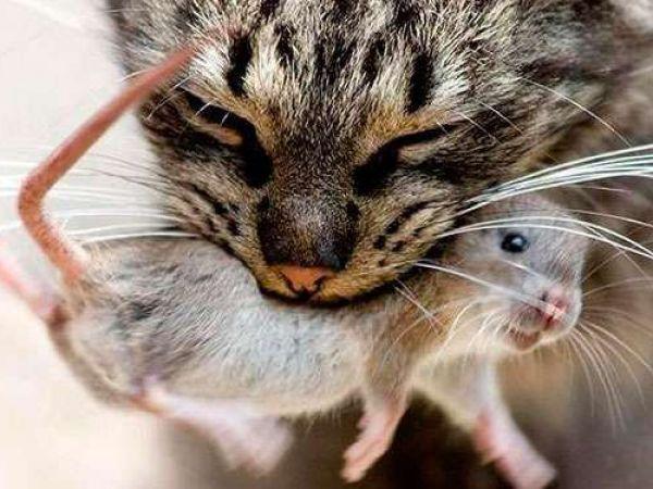 Симптомы и эффективные способы лечения токсоплазмоза у животных