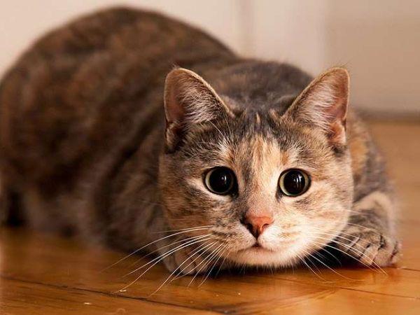 Правила выбора и применения средств от глистов для кошек