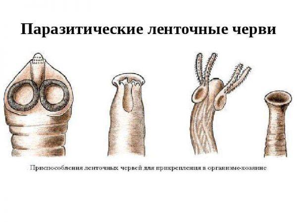 Список основных видов представителей ленточных червей