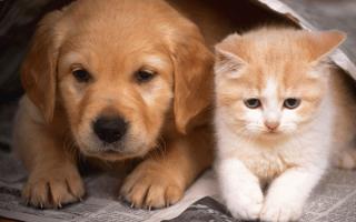 Симптомы и лечение лямблиоза у кошек