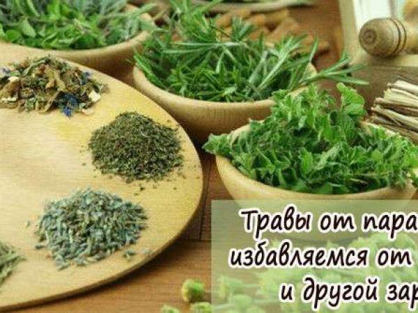 Какие травы эффективнее от глистов и паразитов у человека