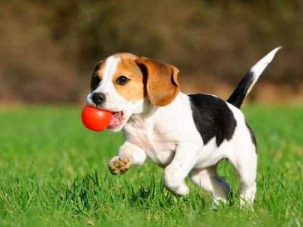 Признаки появления глистов у щенков и методы их выведения