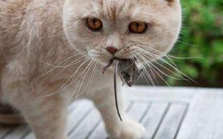 Симптомы и лечение аскаридоза у кошек, передается ли человеку