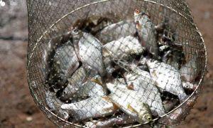 Можно ли есть рыбу, если в ней ленточный червь (солитер) и чем он опасен