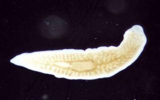 Особенности строения и размножения белой планарии