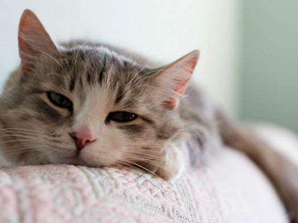 Симптомы и лечение дирофиляриоза у кошек