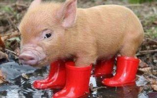 Симптомы и лечение аскаридоза свиней, можно ли есть мясо
