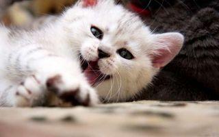 Симптомы, лечение и профилактика ленточных глистов у кошек