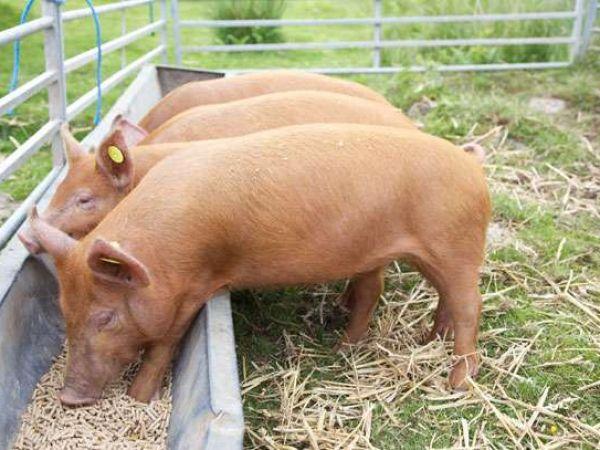 Как заражаются свиным цепнем и симптомы у человека, характеристика и лечение
