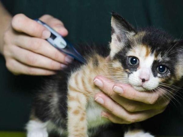 Симптомы и эффективные методы лечения хламидиоза у кошек