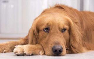 Эффективное лечение глистов у собаки в домашних условиях