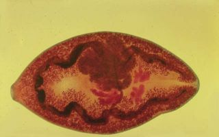 Диагностика, профилактика и симптомы парагонимоза у человека