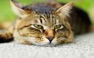 Как можно заразиться токсоплазмозом от кошки, передается ли он человеку