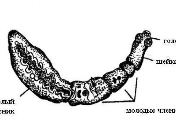 Что такое эхинококкоз у человека, его симптомы и лечение, цикл развития червя