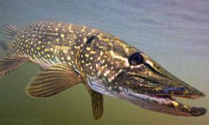 Есть ли в щуке описторхоз, болеет ли рыба паразитами