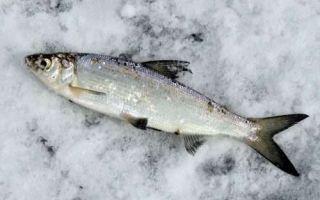 Рыба пелядь (сырок) описторхозная или нет, есть ли в ней паразиты