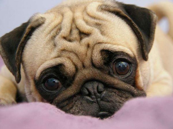 Признаки, симптомы и лечение саркоптоза у собак