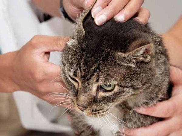 Симптомы и лечение паразитов у кошек, какие из них передаются человеку