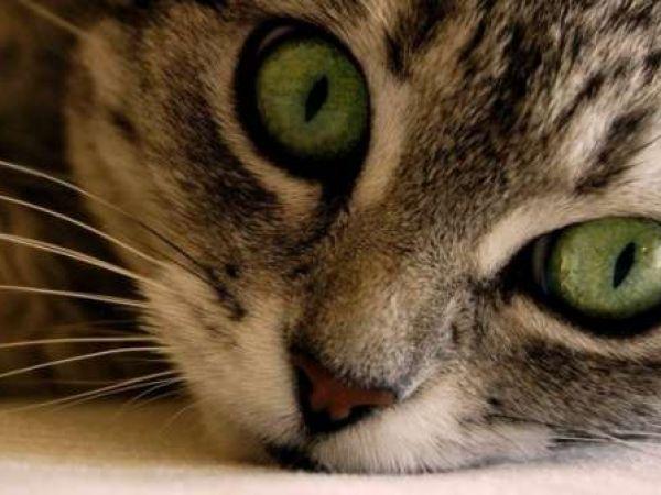 Можно ли заразиться человеку хламидиозом от кошек, есть ли опасность