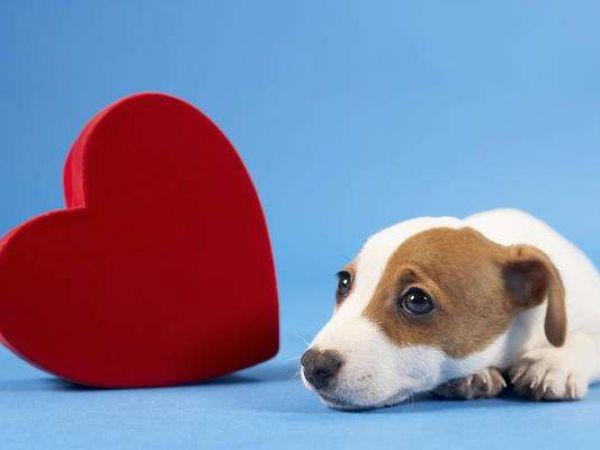 Симптомы и лечение дирофиляриоза (сердечных глистов) у собак