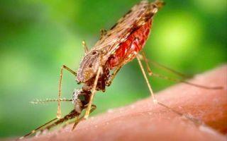 Особенности развития и пути заражения разными видами малярийного плазмодия