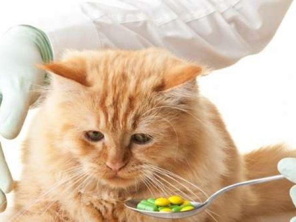 Как правильно давать коту таблетки от глистов и как часто, меры предосторожности