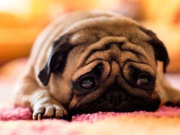 Симптомы и лечение токсоплазмоза у собак