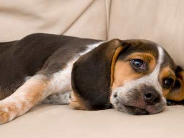 Признаки, симптомы и лечение глистов у собаки