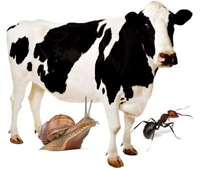 Корова и насекомые