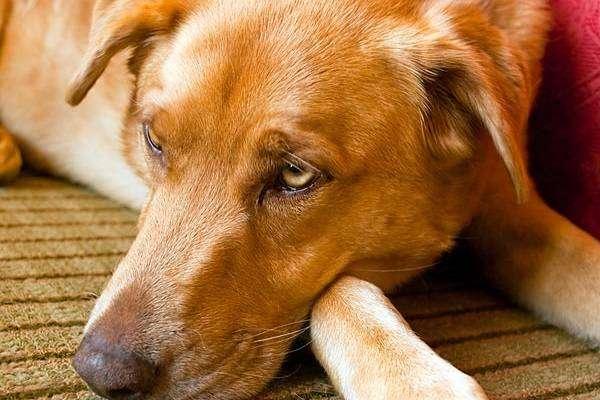 собака симптомы глистов