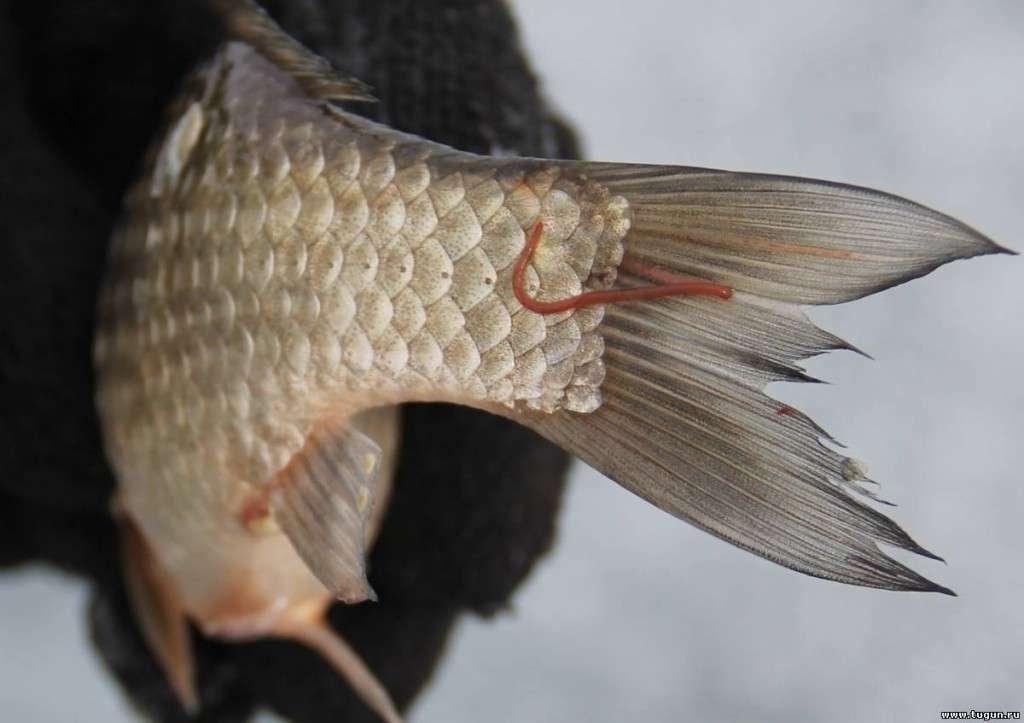 червь из рыбы