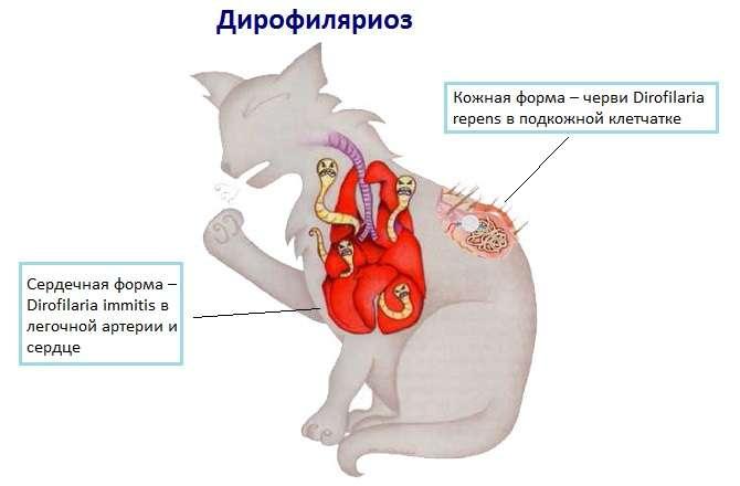 сердечные гельминты