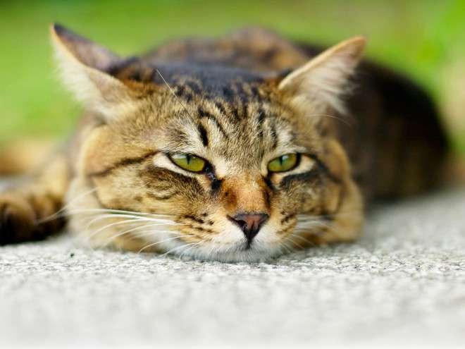аппатия у кота