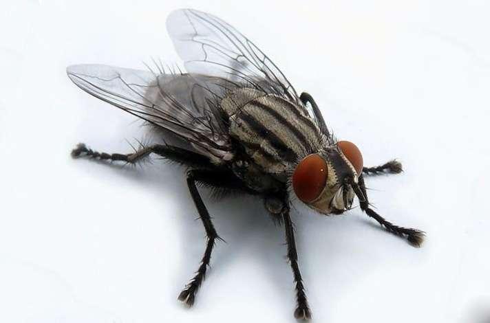 мухи носители заразы