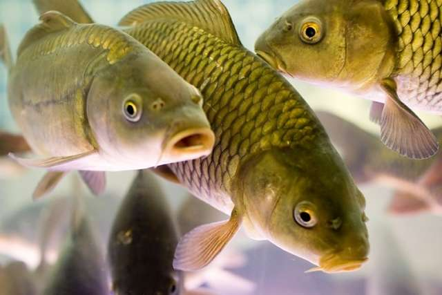 рыбы заражение