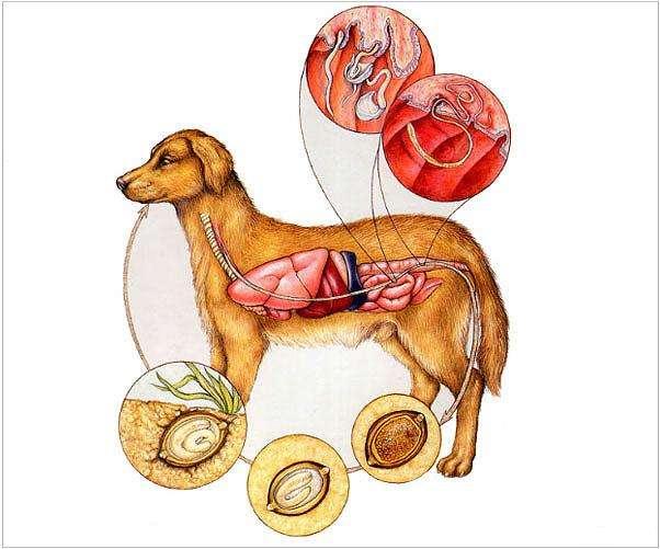 схема заражения у собак