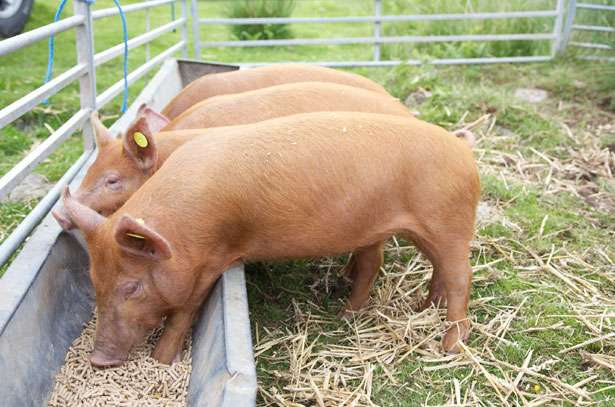 Аскаридоз у свиней- симптомы и лечение заболевания