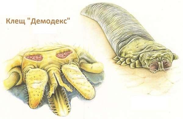 клещ демодекс