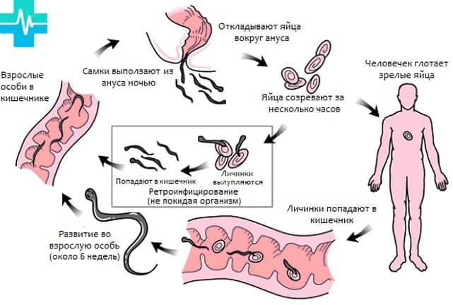 Жизненный цикл аскариды человеческой схема