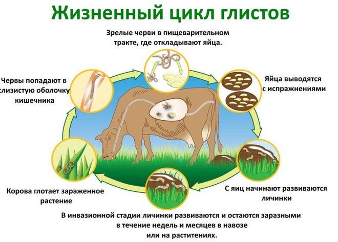 Жизненный цикл глистов у коровы