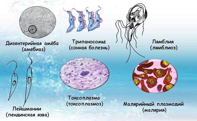 Простейшие паразиты человека
