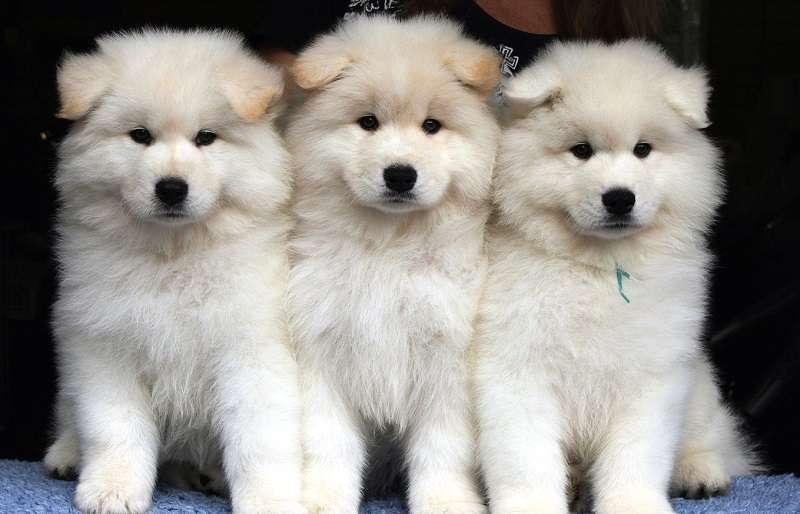 собаки глисты