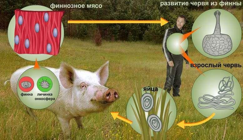 Свиной цепень