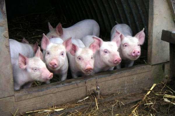 паразиты в свиньях