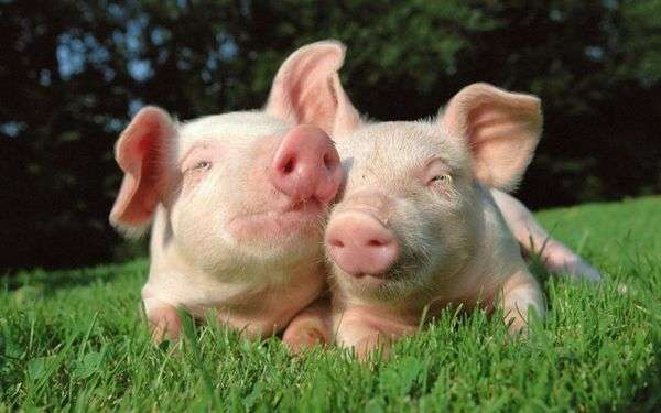 две свиньй