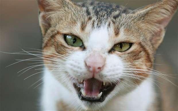 кошка злая