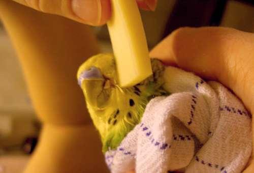 лечение попугая
