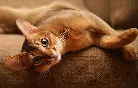 кошка рыжая
