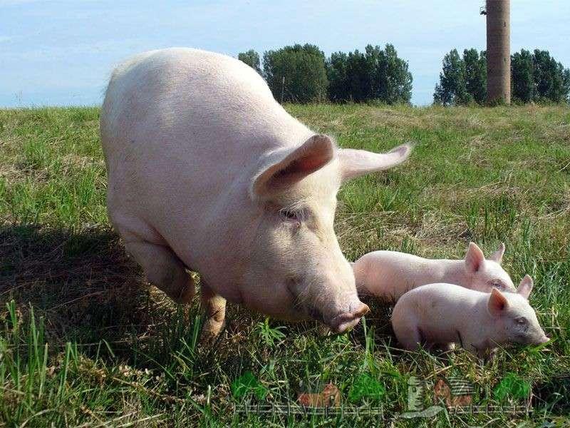 возникновение паразитов у свиней