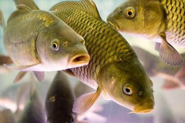 глисты у рыбы
